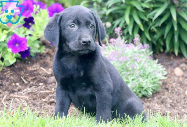 Frankie Black Lab 1