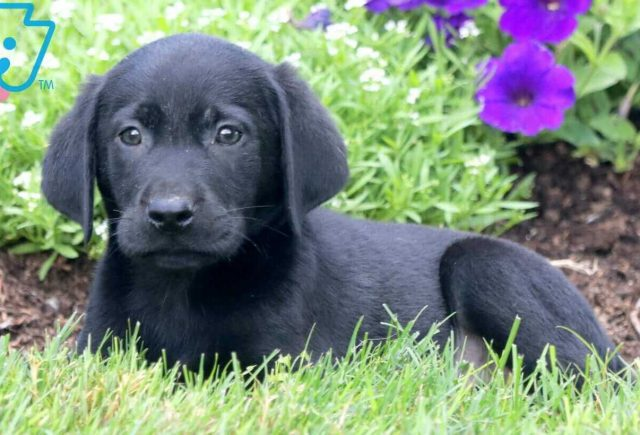 Frankie Black Lab 2