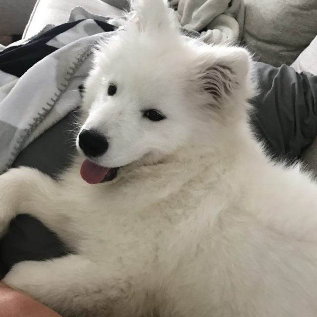 Hope (Samoyed)