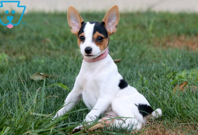 Joey Toy Fox Terrier 2