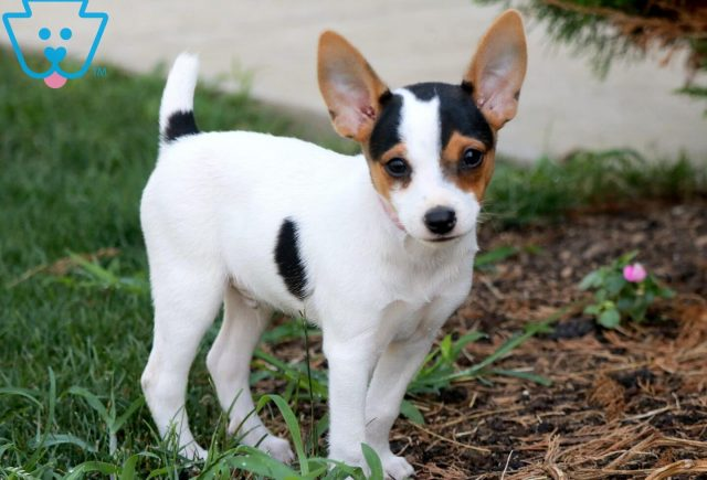 Joey Toy Fox Terrier 3