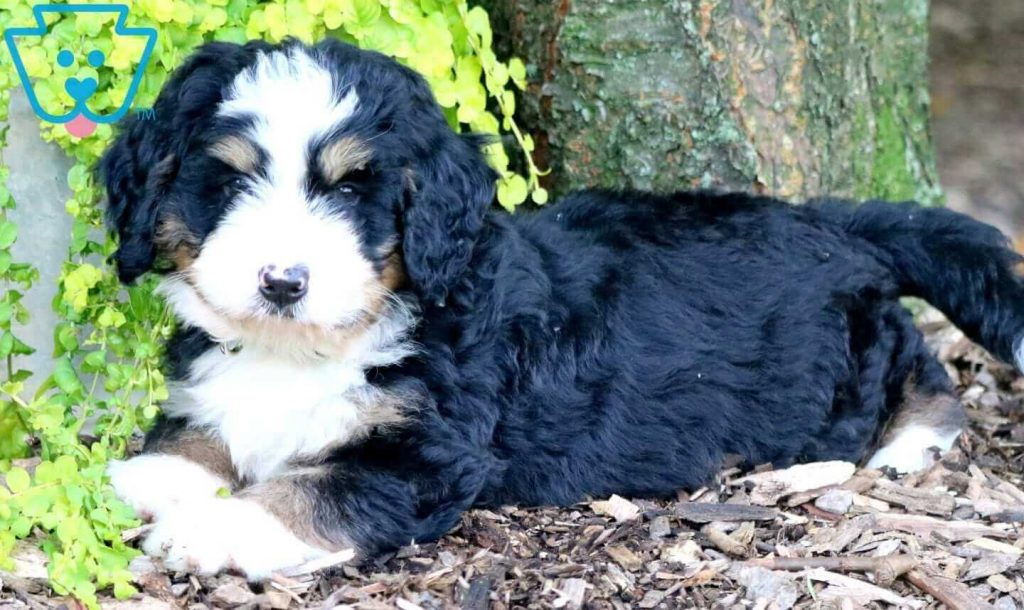 Jumper Bernedoodle Mini Puppy For Sale Keystone Puppies