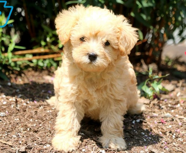 Katrina Schnoodle Puppy For Sale Keystone Puppies
