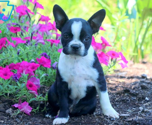 boston terrier breeder nj kendell boston terrier puppy for sale keystone puppies 4021