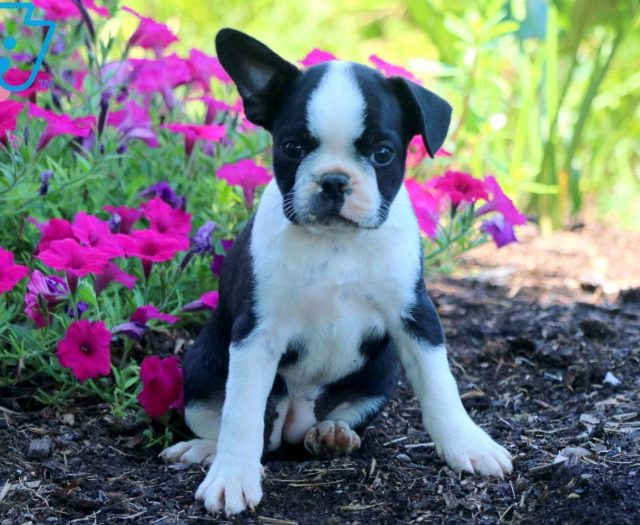 boston terrier breeder nj kerri boston terrier puppy for sale keystone puppies 6297
