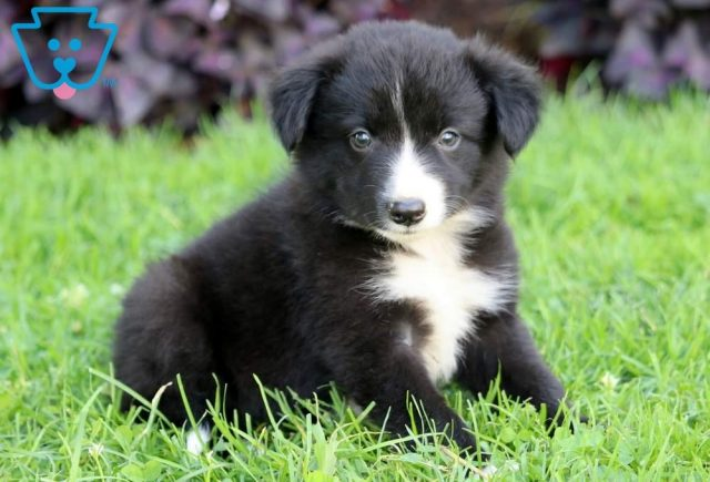 Lady-Border-Collie-Herding-Dog-Breed-AKC