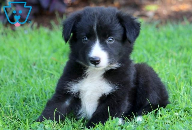 Lady2-Border-Collie-Herding-Dog-Breed-AKC
