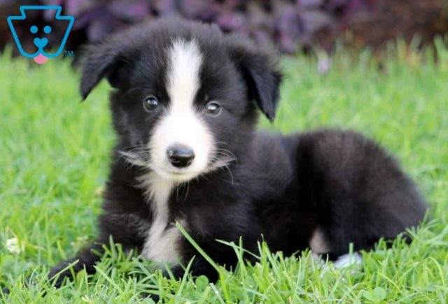 Lucky2-Border-Collie-Herding-Dog-Breed-AKC