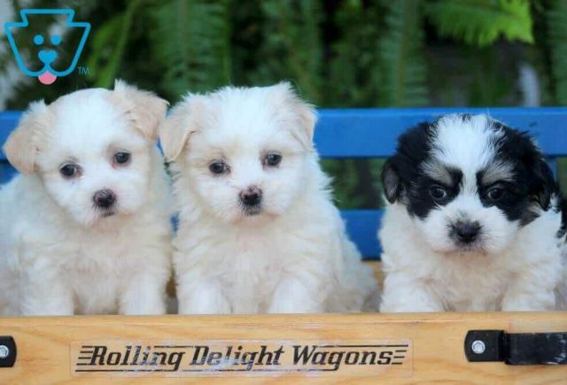 Malshi Malshi Puppies