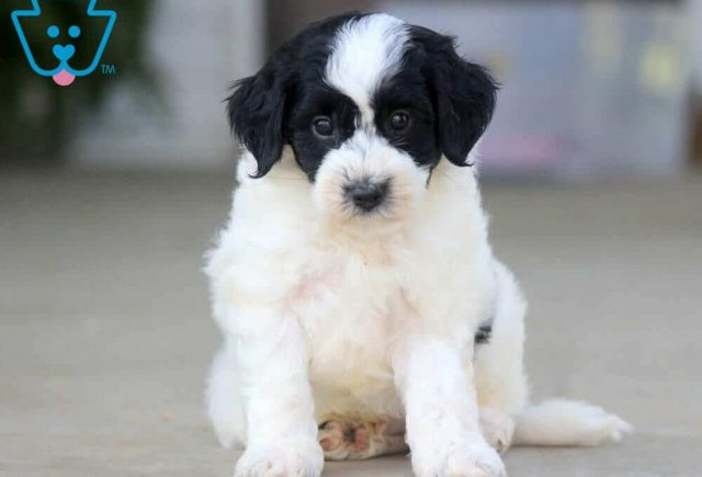 Mickey-Poodle-Mixed-Breed-Dog