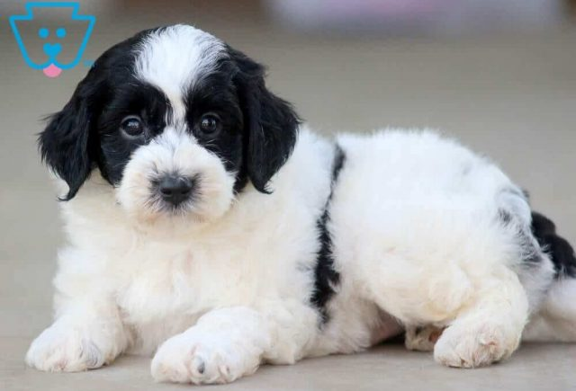 Mickey2-Poodle-Mixed-Breed-Dog