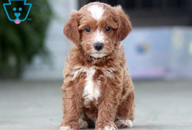 Monroe-Poodle-Mixed-Breed-Dog