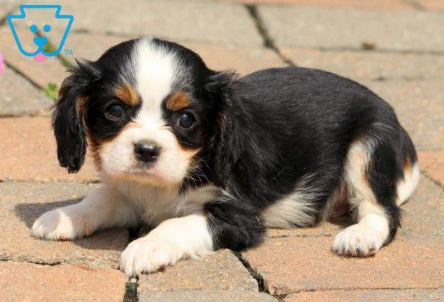 Munchkin2-Cavalier-King-Charles-Spaniel-Toy-Breed-Dog-AKC