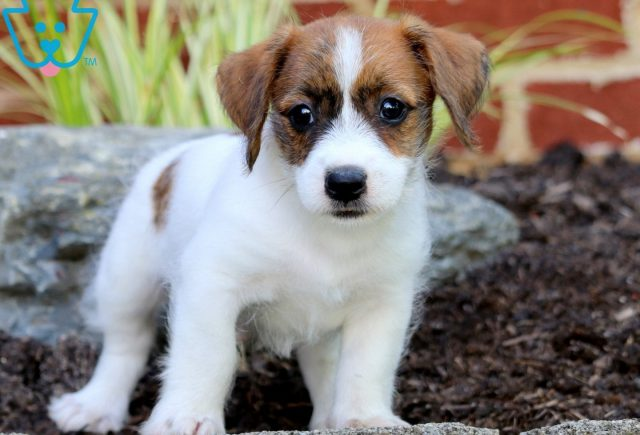 Pac Man Jack Russell Mix 1
