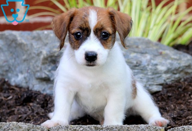 Pac Man Jack Russell Mix 2