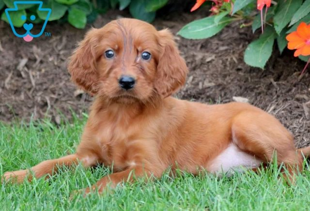 Paige-Irish-Setter-Sporting-Dog-Breed-AKC