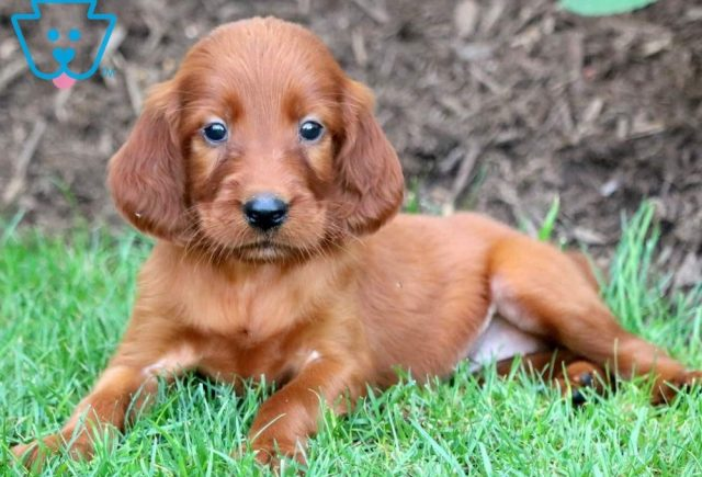 Penelope-Irish-Setter-Sporting-Dog-Breed-AKC
