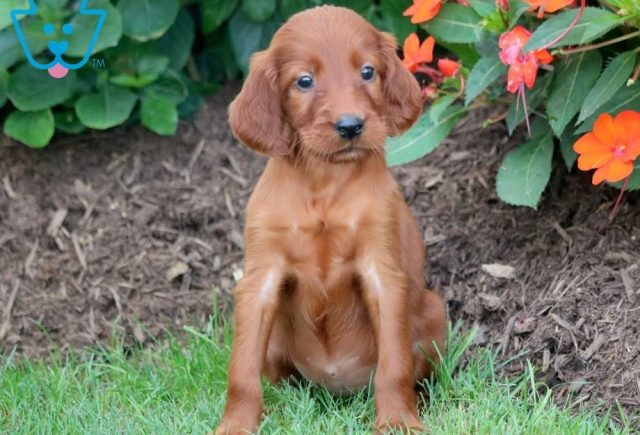 Penelope2-Irish-Setter-Sporting-Dog-Breed-AKC