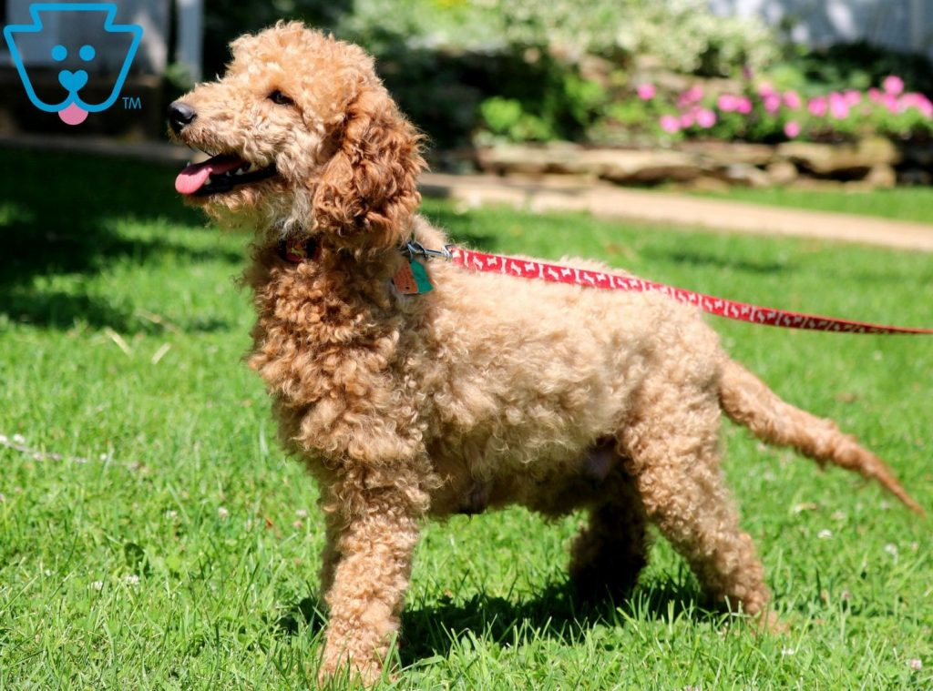 Pixy Mini Goldendoodle 2
