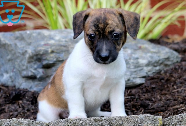 Porky Jack Russell Mix 1