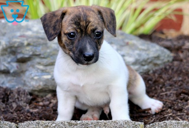 Porky Jack Russell Mix 2