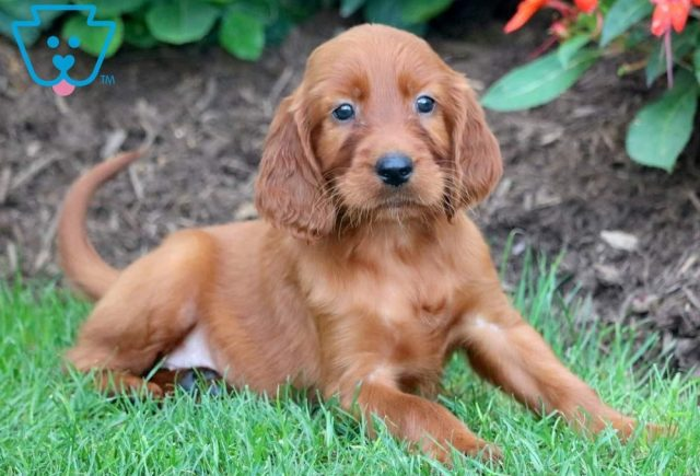 Pretty2-Irish-Setter-Sporting-Dog-Breed-AKC