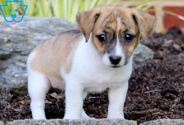 Pretty Jack Russell Mix 1