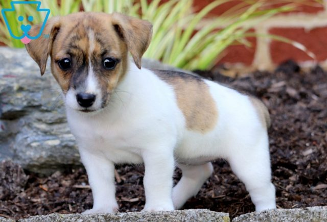 Pretty Jack Russell Mix 2