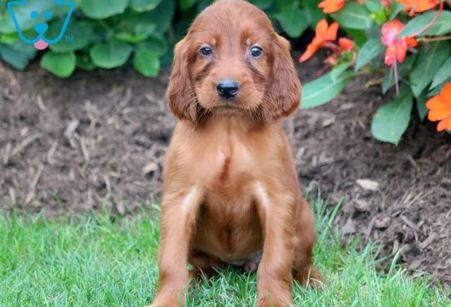 Pumpkin-Irish-Setter-Sporting-Dog-Breed-AKC