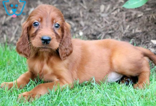 Pumpkin2-Irish-Setter-Sporting-Dog-Breed-AKC
