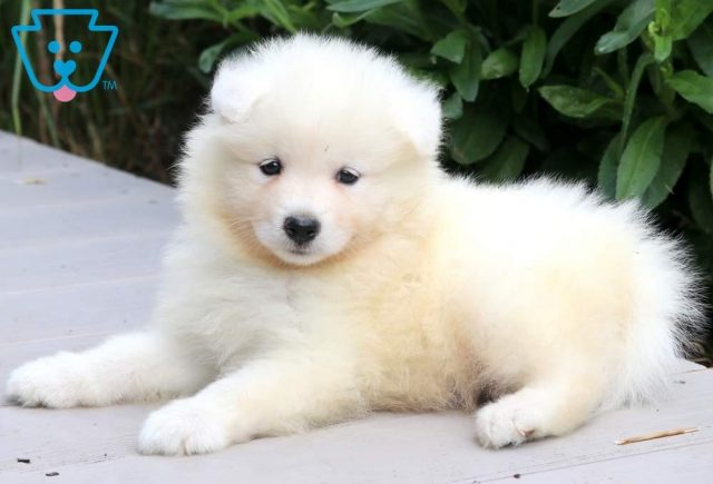 Randy-Samoyed-Working-Dog-Breed-AKC