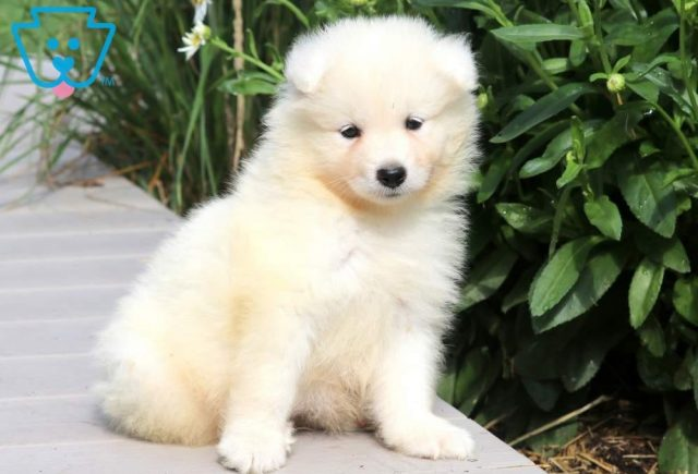 Randy2-Samoyed-Working-Dog-Breed-AKC