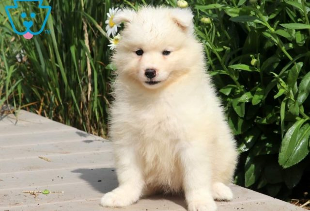 Ronald-Samoyed-Working-Dog-Breed-AKC