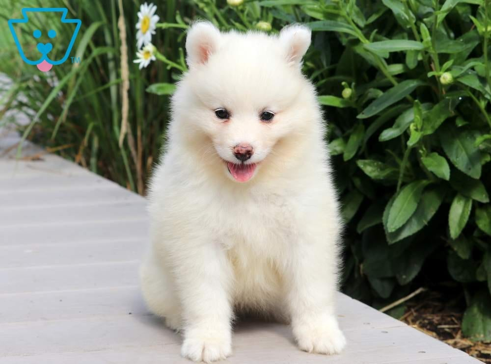 Rose2-Samoyed-Working-Dog-Breed-AKC
