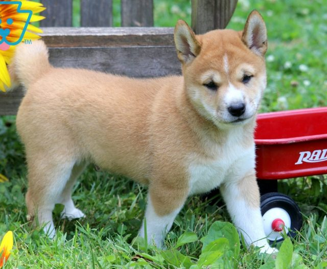 Shiba Inu Puppies For Sale | Puppy Adoption | Keystone Puppies