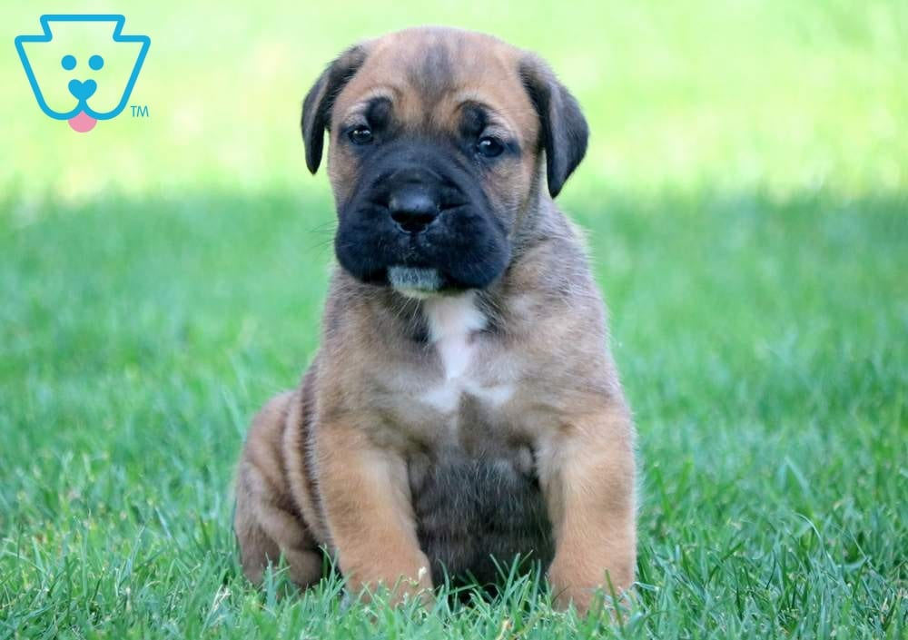Shane | Cane Corso Puppy For Sale | Keystone Puppies