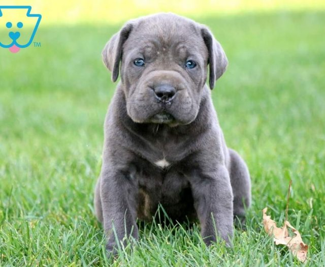 Cane Corso Puppies For Sale | Puppy Adoption | Keystone Puppies