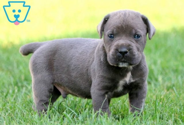 Sparky-Cane-Corso-Working-Dog-Breed-AKC