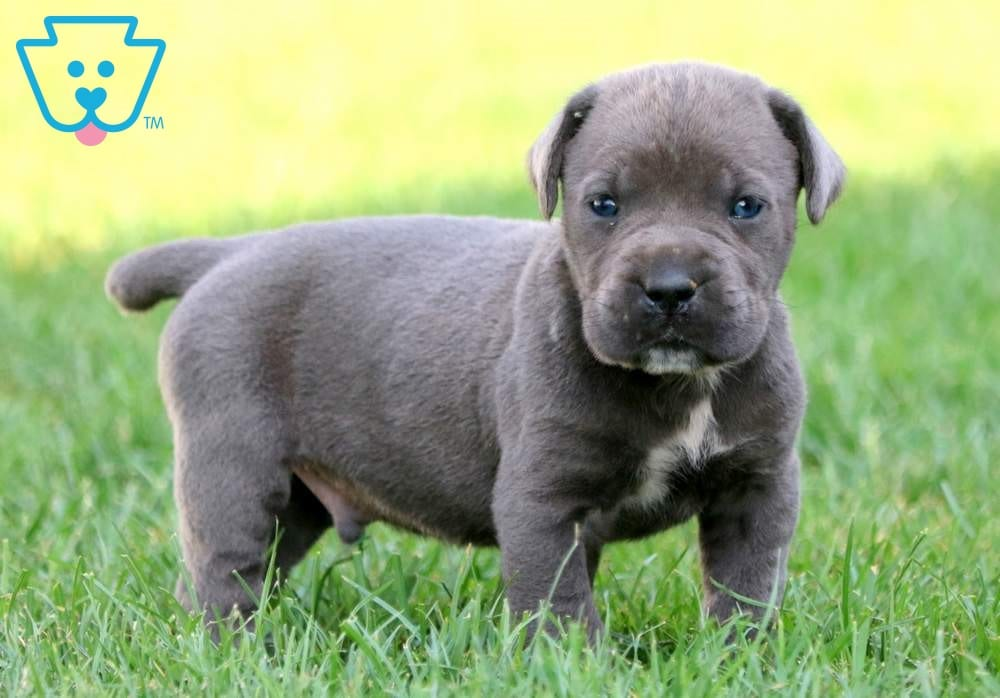 Sparky | Cane Corso Puppy For Sale | Keystone Puppies