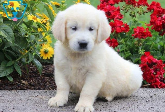 Sport-Golden-Retriever-Sporting-Dog-Breed-AKC-English-Cream