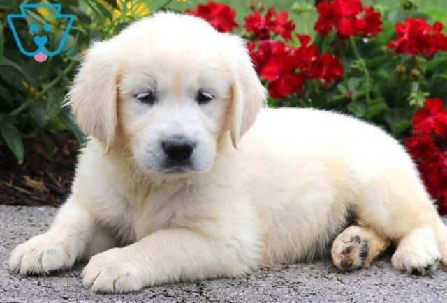 Sport2-Golden-Retriever-Sporting-Dog-Breed-AKC-English-Cream