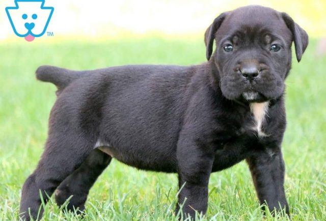 Sprinkles2-Cane-Corso-Working-Dog-Breed-AKC