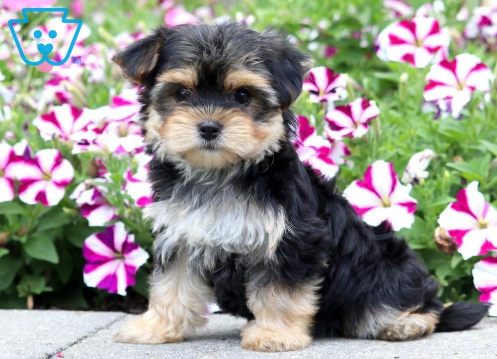 Buy Morkie Puppies In South Africa
