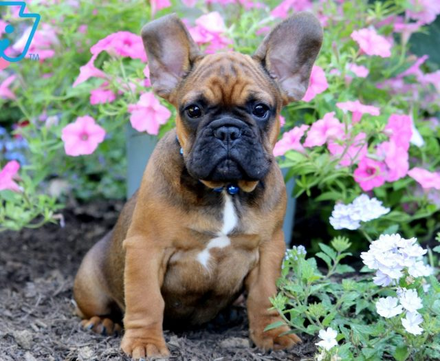 French Bulldog Puppies For Sale | Puppy Adoption | Keystone Puppies