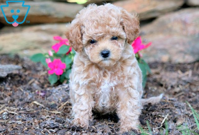 Wally Toy Poodle 1