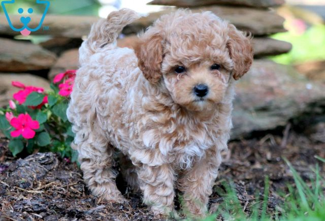 Wally Toy Poodle 2