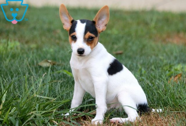 jOEY tOY fOX tERRIER 1
