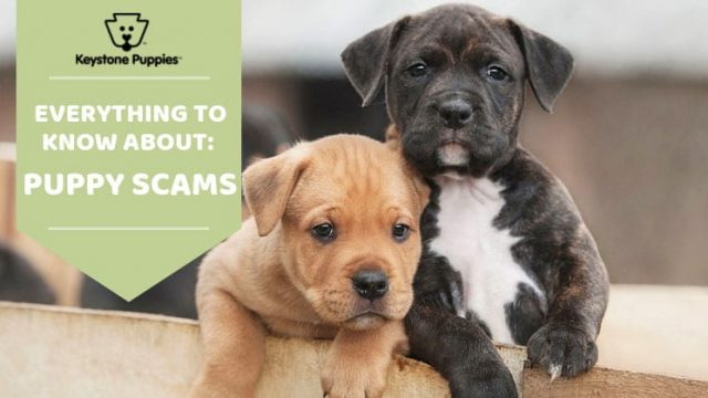 Keystone Puppies Sniffs Out Online Puppy Scams