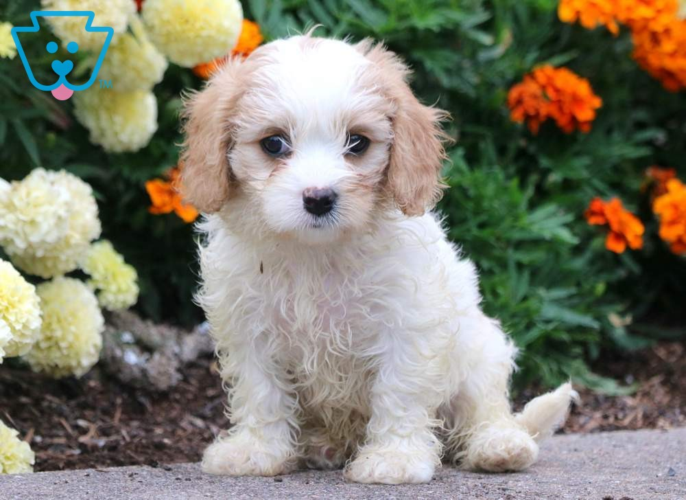 Buy Cavachon Puppies In Wyoming USA
