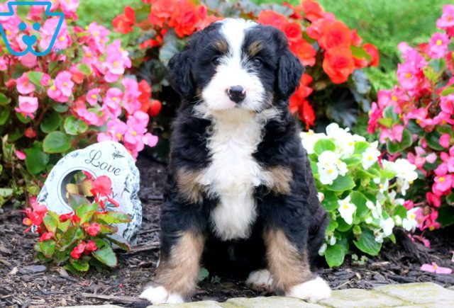 Andy Mini Bernedoodle 1